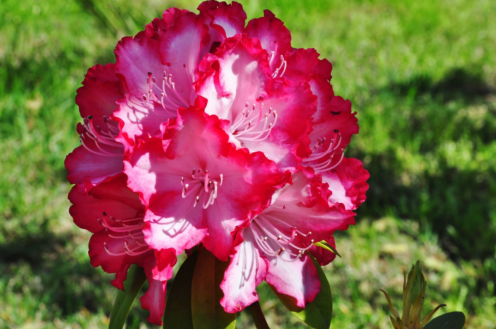 State Flower Coast Rhododendron